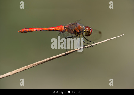 Male of Ruddy Darter (Sympetrum sanguineum), skimmer dragonfly family (Libellulidae) - Stock Photo