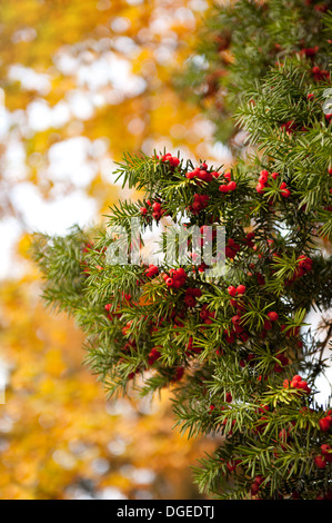 Taxus baccata or Yew red fruits on twig - Stock Photo
