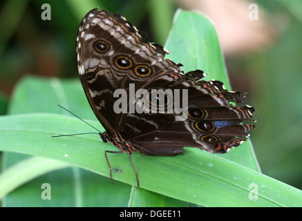Blue Morpho (Morpho peleides) also known as Emperor Butterfly showing closed outer  wings - Stock Photo