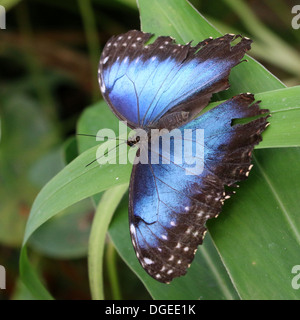 Blue Morpho (Morpho peleides) also known as Emperor Butterfly showing blue inner wings - Stock Photo