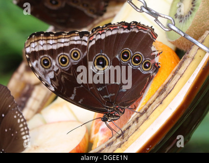 Blue Morpho (Morpho peleides) also known as Emperor Butterfly showing closed outer  wings and feeding on fruit - Stock Photo