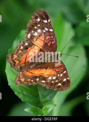 Brown Peacock a.k.a. Scarlet Peacock (Anartia amathea) posing on a leaf - Stock Photo