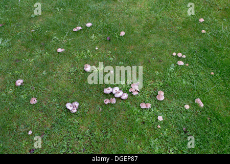 MUSHROOMS GROWING IN THE DAMP OF AUTUMN IN A LAWN - Stock Photo