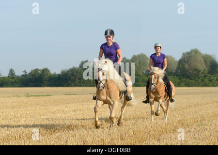 Two young riders on back of Haflinger horses galloping in a stubble field - Stock Photo