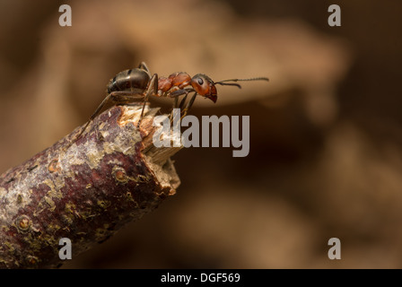 Wood ant on twig - Stock Photo