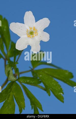 Wind Flower, Wood Anemone, Wind-Flower, Wood-Anemone, Busch-Windröschen, Buschwindröschen, Anemone nemorosa - Stock Photo