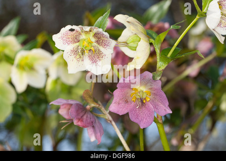 Christmas rose, black hellebore, Christrose, Schneerose, Weihnachtsrose, Schwarze Nieswurz, Helleborus niger - Stock Photo