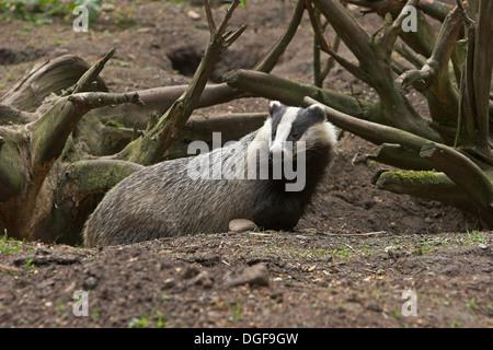 Badger, brock, Dachs an seinem Bau, Europäischer Dachs, Meles meles, Blaireau - Stock Photo