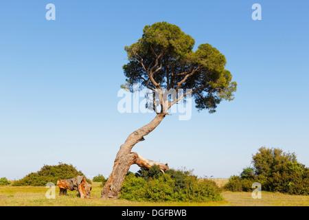 Pine tree on the beach of Olympos, Olimpos Beydağları National Park, Çıralı, Lycia, Province of Antalya, Turkey - Stock Photo