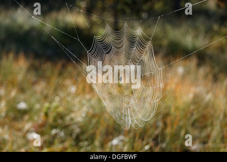 European Garden Spider or Cross Orbweaver (Araneus diadematus) in a web, Steingaden, Pfaffenwinkel region, Upper - Stock Photo