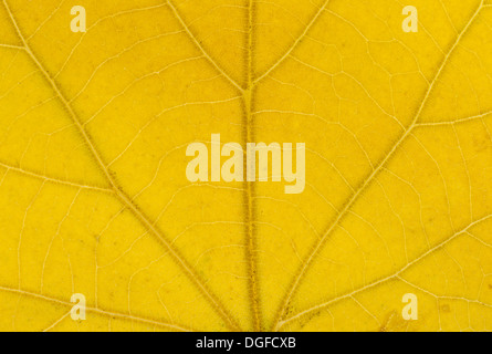 Large-leaved Lime (Tilia platyphyllos) leaf structure in transmitted light, autumnal colour, detail, city centre - Stock Photo