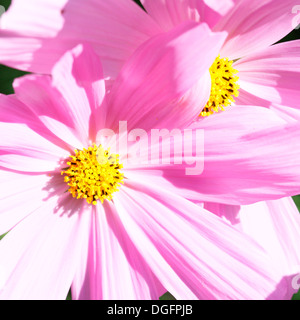 bright pink cosmos sonata flowers in natural light  Jane Ann Butler Photography  JABP1049 - Stock Photo