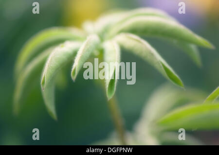Young Lupin Leaf. Lupinus x regalis. June 2006. Maryland, USA - Stock Photo