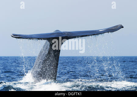 Adult blue whale are