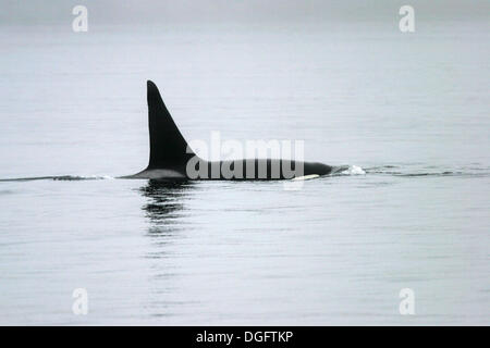 Adult bull Orca (Orcinus orca) traveling in fog (note the extremely tall dorsal fin) near the Jeanette Island Group, - Stock Photo
