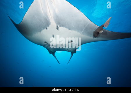 Manta, Manta birostris, Roca Partida, Revillagigedo Islands, Mexico - Stock Photo