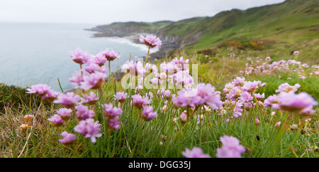 Armeria maritima, common name 'Pink Thrift', growing on the coastal cliff top in North Devon, UK. - Stock Photo