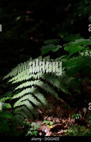 Fern (Polypodiopsida), Ruegen Island, Mecklenburg-Western Pomerania - Stock Photo