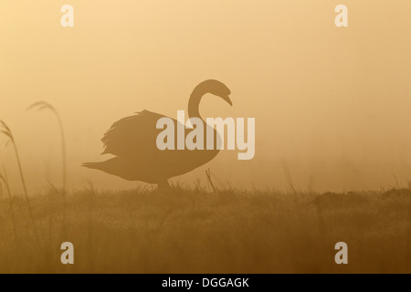 Mute Swan (Cygnus olor) adult male, standing on marshland, silhouetted in misty sunrise, Suffolk, England, March - Stock Photo