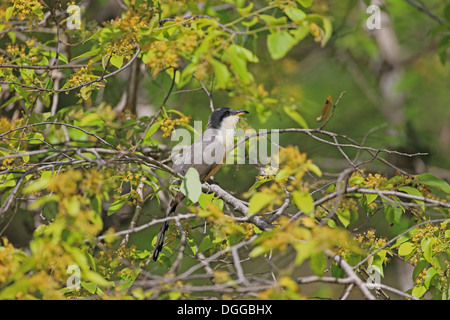 Mangrove Cuckoo (Coccyzus minor) adult, perched in flowering tree, Tobago, Trinidad and Tobago, May - Stock Photo
