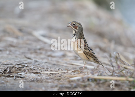 Chestnut-eared Bunting (Emberiza fucata) adult male breeding plumage with unopened seed in beak standing on ground - Stock Photo