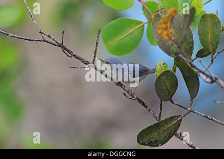 Bicoloured Conebill (Conirostrum bicolor) adult, perched on twig, Trinidad, Trinidad and Tobago, April - Stock Photo