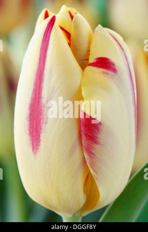 Tulipa 'Helmar' Tulip Triumph Group April - Stock Photo