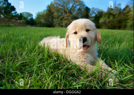 Golden retriever puppy lying down on grass - Stock Photo