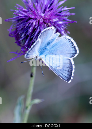 A Chalkhill Blue butterfly ( Lysandra coridon ) nectars on a thistle head - Stock Photo