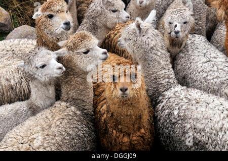 Llama herd in Pampa Blanca village, Munizip Charazani, Departamento La Paz, Bolivia, South America - Stock Photo