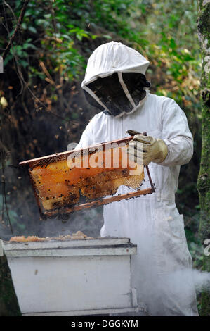 Man wearing a protective suit removing a honeycomb filled with honey from a beehive, in the community of Mbya-Guarani - Stock Photo