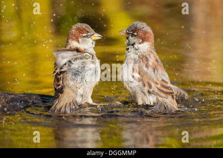 Two House Sparrows (Passer domesticus), in water, Offheim, Landkreis Limburg-Weilburg, Hessen, Germany - Stock Photo