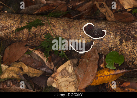 Forest floor ecosystem with bracket fungus growing on a dead tree in an undisturbed lowland tropical rainforest - Stock Photo