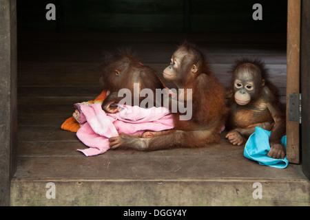 Orphaned baby orangutans (Pongo pygmaeus) at the Orangutan Care Center and Quarantine - Stock Photo