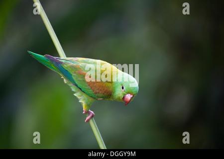 Orange-chinned Parakeet (Brotogeris jugularis) - Stock Photo