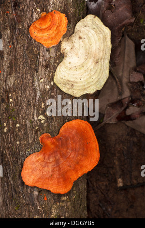 Bracket fungus growing on tree trunk in undisturbed lowland tropical rainforest - Stock Photo