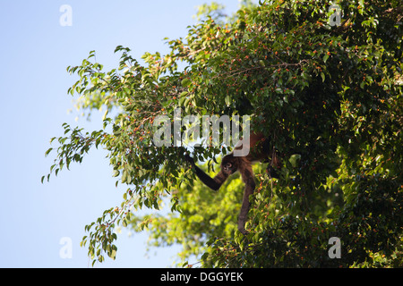 Black-handed Spider Monkey (Ateles geoffroyi) foraging on fruiting tree in tropical rainforest. - Stock Photo