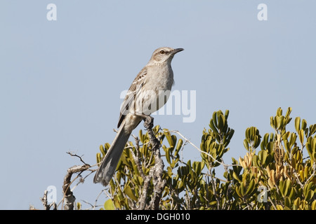 Bahama Mockingbird (Mimus gundlachii) adult perched on branch Cayo Coco Jardines del Rey Ciego de Avila Province - Stock Photo