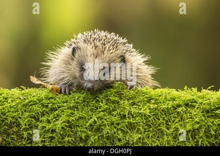 European Hedgehog (Erinaceus europaeus) adult, looking over moss, Sussex, England, November - Stock Photo