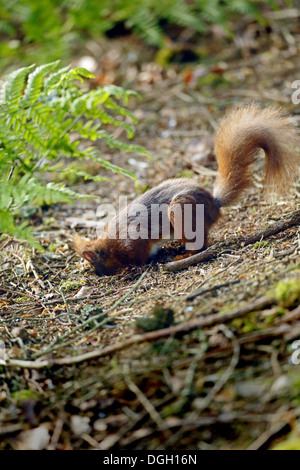 Eurasian Red Squirrel (Sciurus vulgaris) adult digging for cached food on woodland floor Kielder Forest Northumberland - Stock Photo