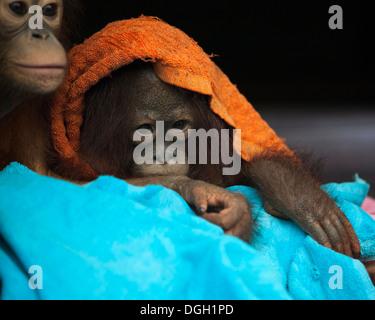 Baby orangutan (Pongo pygmaeus) wrapped in towels at the Orangutan Care Center and Quarantine - Stock Photo
