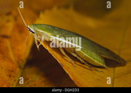 Green Banana Cockroach (Panchlora nivea) introduced species stowaway within shipment of produce most likely bananas - Stock Photo