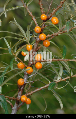 Hippophae rhamnoides sea buckthorn growing on the beach at stock photo royalty free image - Growing sea buckthorn ...