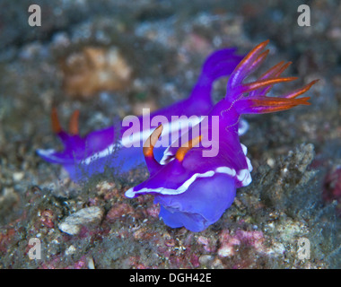 Purple nudibranchs, Hypselodoris apolegmaa. Puerto Galera, Philippines. - Stock Photo