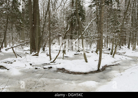 Frozen wetland area in snow covered primeval forest habitat Bialowieza Strictly Protected Area Bialowieza N.P. Podlaskie - Stock Photo