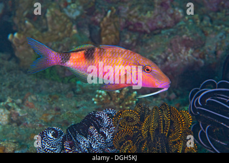 Red goatfish (Mulloidichythys pflugeri), Puerto Galera, Philippines. - Stock Photo