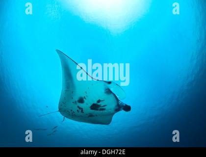 Manta ray in blue ocean light. Raja Ampat, Indonesia - Stock Photo