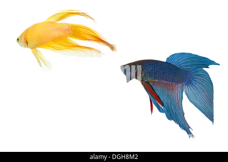 betta fish couple tank with isolated white background - Stock Photo