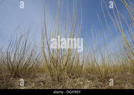 Biomass crop, Willow (Salix sp.) coppice, Vastergotland, Sweden, spring - Stock Photo