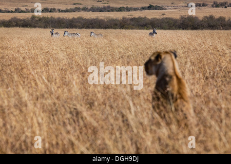 lioness watching zebras in the Masai Mara - Stock Photo
